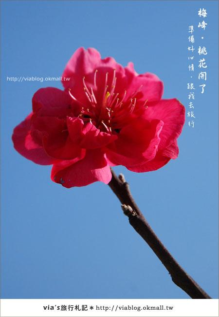 【梅峰農場桃花緣】最美的桃花隧道,就在南投梅峰這裡~(上)13