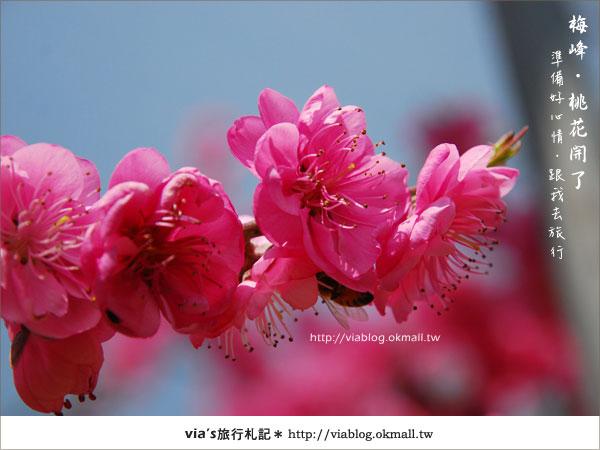 【梅峰農場桃花緣】最美的桃花隧道,就在南投梅峰這裡~(上)36