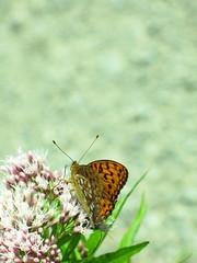 Schmetterling (oOLufiaOo) Tags: orange natur gelb schwarz tier schmetterling seite flügel seitlich schmetterlingsflügel