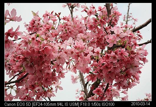 20100314C3苗栗市的櫻花