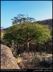 A Tamarind in Wadi Hinna, Dhofar (Shanfari.net) Tags: summer nature lumix raw natural panasonic fabaceae oman wadi fz mountian zufar rw2 indica salalah hinna  sultanate dhofar  tamarindus  khareef     mirbat     tamarindusindica       governate   dofar fz38 marbat  fz35 dmcfz35  qaith