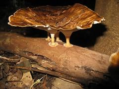 Triple whammy Microporus Xanthopus 1 (imbala) Tags: fungus nsw queensland basidiomycota australiannative polyporaceae arfp microporus microporusxanthopus australianrainforestplant australianrainforestplants arffungi nswrfp qrfp nswrffungi qrffungi polyporearffungi basidiomycetesarffungi