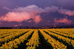 100321020 (jhiker5) Tags: flowers friends sunset nature clouds washington spring farming pacificnorthwest fields washingtonstate daffodils skagitvalley skagitvalleytulipfestival gmt canon40d concordians platinumheartawards