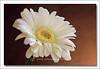 White Gerbera (UrbanMescalero) Tags: flowers nature closeup copenhagen denmark flora gerbera naturesfinest supershot whitegerbera abigfave canoneos40d ef24105lf4isusm theoriginalgoldseal mygearandme