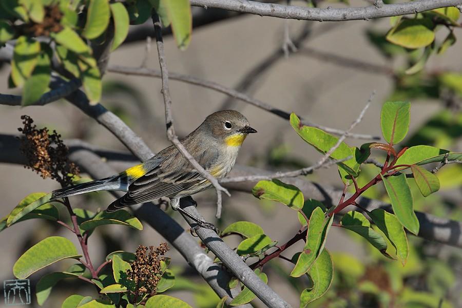 Yellow-rumped Warbler 10081-2