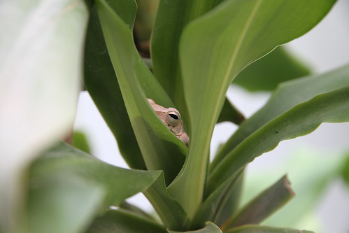 Tree frog in Yucka