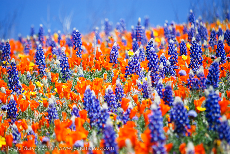 Lupine & Poppies_TejonRanchConservancy