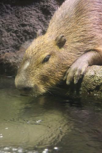 Capybara,Hydrochoerus hydrochaeris
