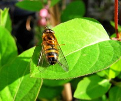 The brightest jewel in the crown (Solne.CB) Tags: green nature fleur insect bees bee honeysuckle hoverfly insecte chvrefeuille syrphe solnecb