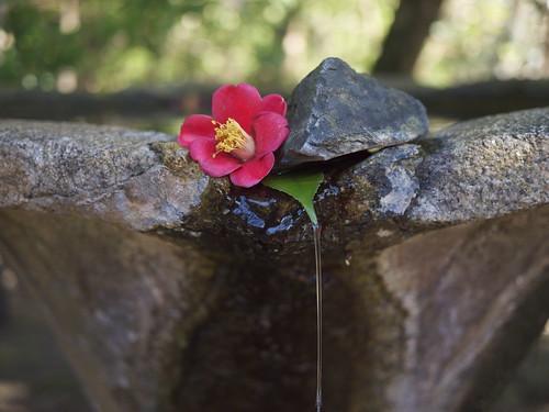 Tsubaki (camellia) 'fountain' at Honen-in, Kyoto