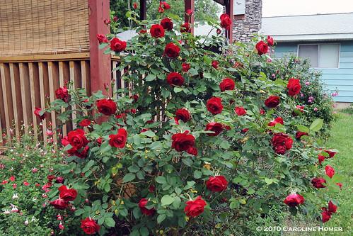 'Dame du Coeur' rose