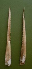 Human Bone Spear Tips