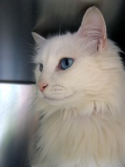ALFONZ ~ White, Blue Eyed Boy Cat, probably Turkish Angora ~ this is NOT Cerulean (2) (Pixel Packing Mama) Tags: heartlandhumanesociety pixelpackingmama blueeyedanimalspool dorothydelinaporter montanathecat~fanclub reallyunlimited whitepetsonlypool ceruleanthecat~fanclub whitecatspool reallyunlimitedpool worldsfavoritepool whiteanimalspool catslonghaircats~pool allcatsallowedpool whitecreaturesphotospainteddrawnpool monochromepetspool 50plusphotographersaged50andbetterpool photosfrom20002010pool favoritedpixfirsthalfof2010set pixuploadedfirsthalfof2010set pixtakeninfirsthalfof2010set picturestakenwithcanonpowershota2000isin2010set catskittensstartingjanuary12010set obsessivephotography30perdaypool favup051010 whitecatsblueeyespool pixelpackingmama~prayforkyronhorman oversixmillionaggregateviews over430000photostreamviews