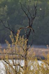 Raining Osprey DSC_6546