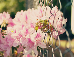 Azaleas through the fence (Party of Five 2014) Tags: pink flowers flower fence azaleas azalea partyof5ive