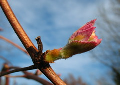concord grape bud