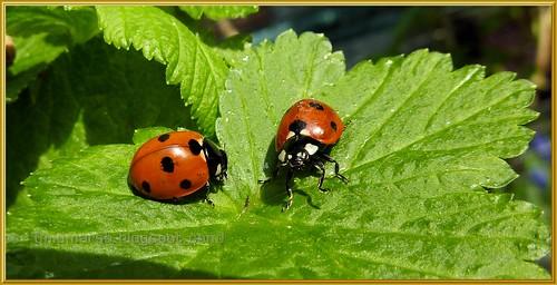 Ladybirds 1