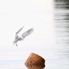 Grace (Peggy Collins) Tags: ocean sea white canada water interestingness britishcolumbia seagull gull grace landing explore ethereal pacificnorthwest highkey graceful whiteonwhite sunshinecoast seabird specanimal specanimals peggycollins
