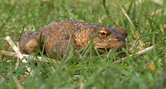 Toad (Cath Scott) Tags: point scotland amphibian toad sands bufo kintyre bufobufo commontoad camsite qpcc tayinloan