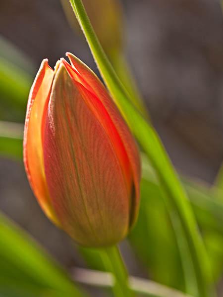 Orange Tulip in Allen Centennial Gardens at University of Wisconsin Madison