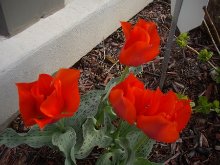 MORE TULIPS 3