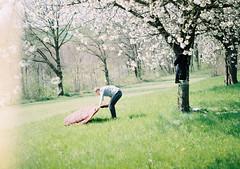 (MilkyAir) Tags: film analog cherry spring blossom prakticamtl3 milkyair