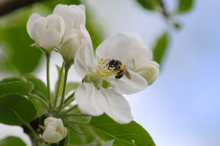 web_appleblossombee_maine_0148_2676