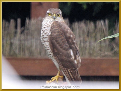 Female Sparrowhawk?