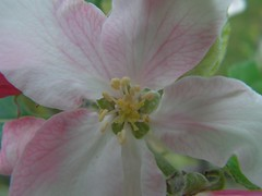 un pommier en fleurs