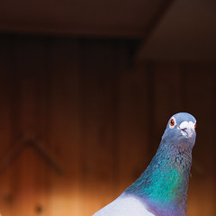 cuckoo! (ion-bogdan dumitrescu) Tags: wood bird eyes head pigeon background bitzi ibdp mg1509cr ibdpro wwwibdpro ionbogdandumitrescuphotography