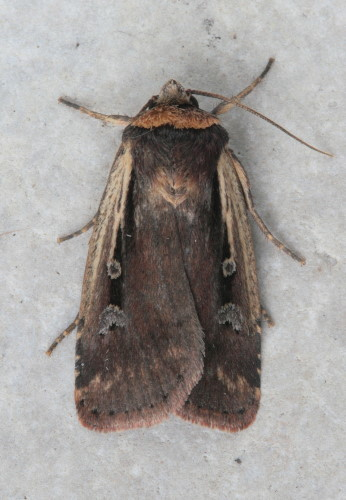 10891 - Ochropleura implecta - Flame-shouldered Dart (2)