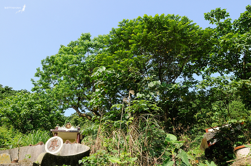 100517 台北 芳蘭山 墓區絕對適合生長迅速的向陽先驅植物