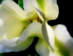 white tulip sunset 3 (dmixo6) Tags: flowers white canada macro green garden spring tulips jardin muskoka twotone dmixo6