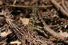 新治市民の森のサトキマダラ(Butterfly at Niiharu Community Woods, Japan)