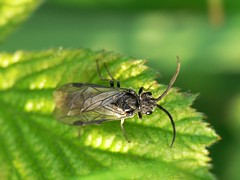 Sawfly (Walwyn) Tags: insect warwickshire hymenoptera sawfly draycotemeadows profmoriartydotcom:book=634 profmoriartydotcom:book=803 profmoriartydotcom:book=813 ymphyta