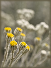 dusty miller buds (Celeste M (site SO SLOW)) Tags: yellow silver flora gray dustymiller hennysgardens
