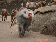 Mantelpaviane / Hamadryas Baboons (Papio hamadryas) (Sexecutioner) Tags: nature animal animals digital canon germany zoo monkey tiere fight hessen wildlife natur baboon fighting apes tier frankfurter baboons 2010 baviaan hamadryasbaboon papiohamadryas pavian babian frankfurterzoo kampf frankurt kmpfen zoofrankfurt sacredbaboon babuin paviane mantelpavian dogape mantelpaviane copyrightsexecutioner droguera bjrnbabian gulbabian mantelbabian rdbabian