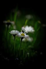 (danne68) Tags: flowers flower canon sweden stockholm daisy sverige lvsj 40d eos40d 70200f4isusm danne914hotmailcom