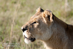 Lioness Headshot Profile (Simon Greig Photo) Tags: africa animal female cat mammal feline lion headshot safari wildanimal botswana predator lioness okavangodelta