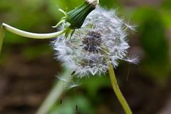 Mai23-8 (JudithTB) Tags: lwenzahn pusteblume blowball