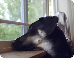 Waiting..... (chad.latta) Tags: rescue dog window rain weather animal out mutt mix nikon sad looking chad shepherd gap canine perro longing gettyimages latta kayce d80 thelittledoglaughed