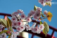 Cherry blossom (osteras) Tags: pink flower cherry ride blossom stockholm bokeh grnalund nikond90 kvasten