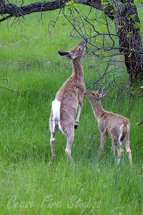 05-29-deer3