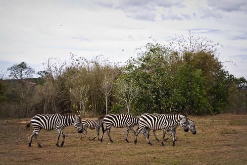 More African Zebras