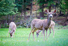 Deer (Brett_Warren) Tags: mountains colorado deer evergreen coloradowildlife d3000