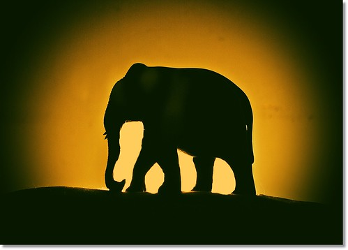 Elephant silhouette - a photo on Flickriver