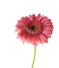 """Never forget that once upon a time, in an unguarded moment, you recognized yourself as a friend."" (Simutis [nancy]) Tags: pink flower gerbera single daisy onwhite d700 2010yip"
