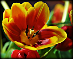 Open (blamstur) Tags: spring flowers nature tulip red yellow