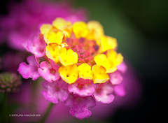 HAPPY BIRTHDAY (Marquisa -) Tags: birthday pink summer macro floral yellow closeup interestingness nikon texas dof bokeh tx houston sunny explore gift fp frontpage svetlana 20105 frontrage marquisa explored d700 explorefp svetlanavasiliadi russiantexas vasiliadi svetanphotography exploredjun3 svetalanavasiliadi