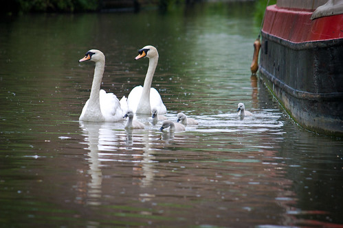 Cygnets with patrolling swans